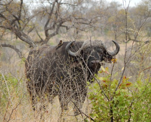 Budget Kruger National Park Safari