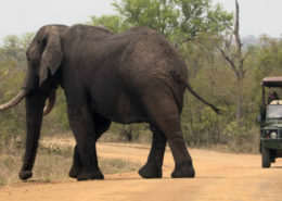 Safari Lodge-Elephant
